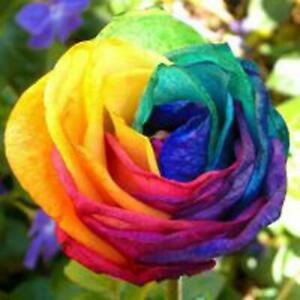 Colorful Rainbow Rose Seeds Indoor Petal Plants Exotic Flower Garden RCAI 01