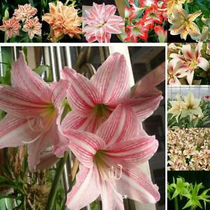50pcs Rainbow Lily Flower Seeds Garden Balcony Bonsai Lily Flower Seeds RCAI 01