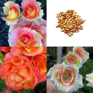 Rare Mixed Colors Rose Seeds Rainbow Rose Bonsai Flower Balcony Plant RCAI 01