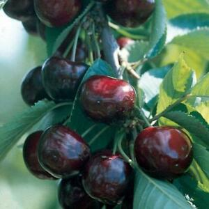 SWEET & TASTY Black Cherry Tree 6-12