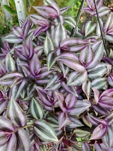 Wandering Jew Cuttings 12 pcs amp; 6 7 inches Tradescantia Zebrina House Plant