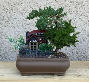 Japanese Juniper Bonsai Tree - Mix Of Two Kinds