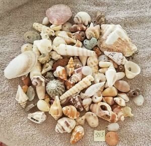 Sea Shells Large Collection of Assorted Seashells Mix Bulk Lot SS3