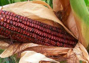 Bloody Butcher Seed Corn 8 oz. Approx 800 seeds $15.99
