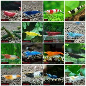 Pack 10 1 High Quality Freshwater Aquarium Shrimp. Live Guarantee. All in One