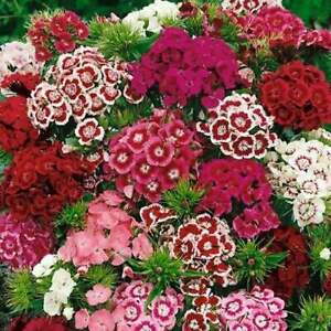Sweet William Flower Seeds 300 MIXED MULTI COLOR SCENTED USA FREE SHIPPING $2.15