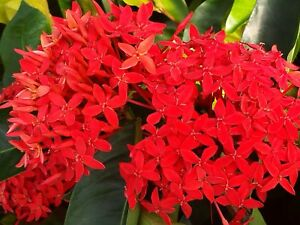 SUPER KING Tropical Ixora Plant Shrub Extra Large Cluster Brilliant Red Flowers