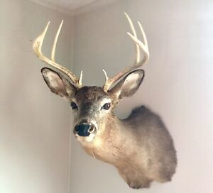 Antique WHITETAIL Deer Head Mount 8 Point Taxidermy