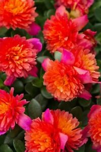 5 Colorblast Double Magenta Portulaca Cuttings Unrooted -  Free Shipping!
