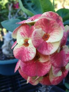 THAI HYBRID CROWN OF THORNS  EUPHORBIA MILII ENVY  ROOTED CUTTING