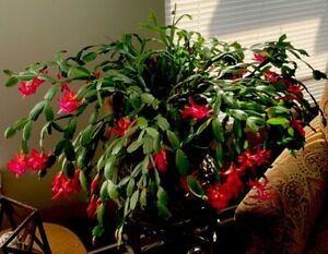 5 Schlumbergera Christmas Cactus Cuttings (RED-PINK) Over 150 Years Old!