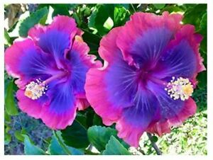 Hibiscus 🌺BLUE PINK Seeds Dinnerplate Flowers Perennial Tropical Rainbow