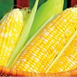 30+ SWEET CORN Seeds | NON-GMO | Fresh Vegetable Garden BUTTER and SUGAR