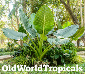 LIVE Colocasia #x27;Thailand Giant#x27; Large Elephant Ear Exotic Tropical