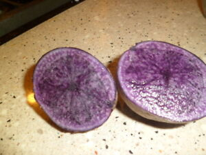 3--PURPLE Skin Flesh  Seed POTATOES Bulbs Tubers for  Planting