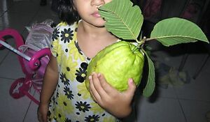 GIANT INDIAN PINK GUAVA EXTREMELY RARE FRUIT WEIGHS 2 POUNDS $99.99