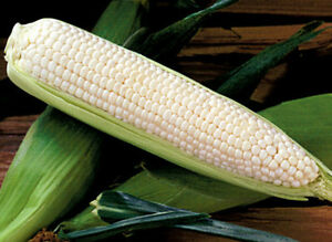 White Corn Seeds Silver Queen Hybrid Corn Seeds Non Gmo Seeds Sweet 50ct $1.99