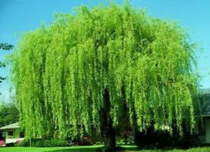Weeping Willow Tree Salix Babylonica 15 ROOTED Cuttings