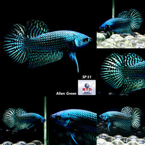 Wild Betta Alien Peacock Green and Blue or Turquoise Premium Grade Male SP51 $45.00