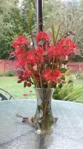 20 FRESH LARGE blooming size Healthy Red Spider Lily Bulbs $25.00