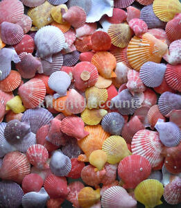 Sea Shells Pecten Colorfull Approx 60 Real Genuine Nobilis Seashell Bulk Lot