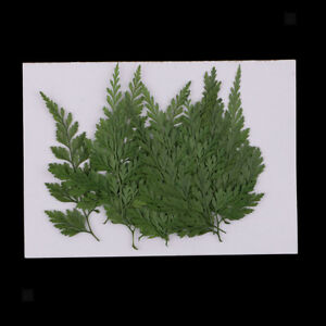 12x Pressed Dried Flowers Fern Leaves for DIY Decorative Craft Bookmark Card