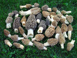 Morel Mushroom 5 gallons Spores in Sawdust Seed Grow Kit From WV FREE SHIPPING