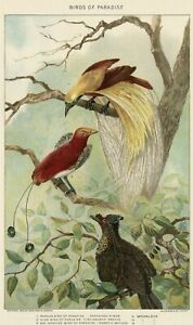 Birds of Paradise: Authentic 1902 (Dated) Natural History Stone Chromolithograph