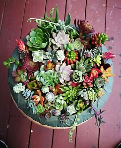 12 or 22 Assorted Succulent Cuttings 10 or 20 Varieties with BONUS