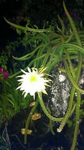 Night Blooming Cereus Cactus 4 ROOTED Cacti Easy to Grow Queen of the Night LIVE