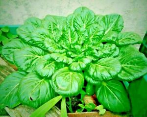 200 SPINACH BLOOMSDALE SEEDS AUTUMN VEGETABLE COMBINED SHIPPING HEIRLOOM NON GMO
