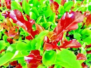 1000 LETTUCE MESCLUN MIX SEEDS VEGETABLE COMBINED SHIPPING HEIRLOOM NON GMO USA
