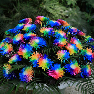 KM_ 500Pcs Rare Rainbow Chrysanthemum Flower Seeds Home Garden Bonsai Plant Sa