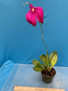"Masdevallia NOID 3 4"" Pot Well Grown No Color Or Name Offered 12"