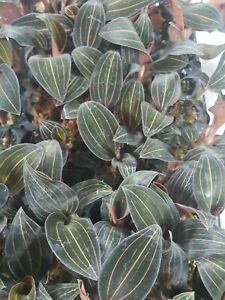 Ludisia Discolor  Jewel Orchid  South Florida Grown $11.99