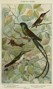 HUMMINGBIRDS: Authentic 1902 Dated Natural History Stone Chromolithograph $19.91