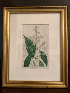 Framed Antique Original Botanical Print 1827 Ridgeway The Botanical Register $45.00