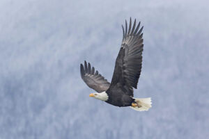 North American Bald Eagle in the Wild of Alaska Photo Art Print Poster 18x12