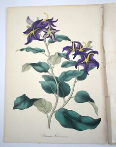 Paxton Antique Botanical Print 1836 Lithograph Solanum Herbertiana Nightshade
