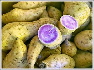 1 lbs Hawaii's Okinawan Purple Sweet Potatoes