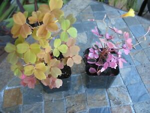 OXALIS 'PLUM CRAZY' 2  INCH POT  AND OXALIS