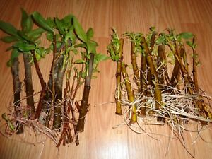 HYBRID WILLOW / WEEPING WILLOW TREE CUTTING LOT OF 20 NO ROOTS