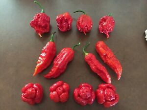 12 FRESH PICKED SUPER HOT MIX PEPPERS 4 Carolina Reapers 4 Ghost 4 Moruga