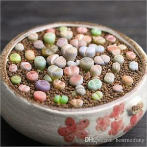 COLOR LITHOPS MIX succulent EXOTIC living stones desert rock seed plant 50 SEEDS $5.99