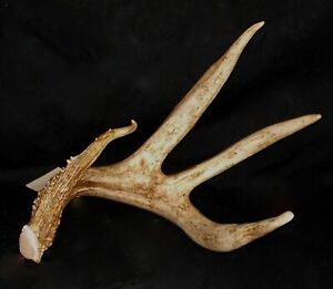 GIANT MASSIVE 4 point whitetail deer antlers taxidermy horns shed cabin WILD