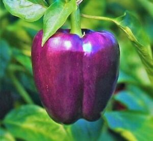 PURPLE BEAUTY BELL PEPPER SEEDS 30 SWEET PEPPER culinary Non Gmo FREE SHIPPING