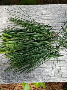 White Pine Needles Harvested at time of order Wild and Fresh