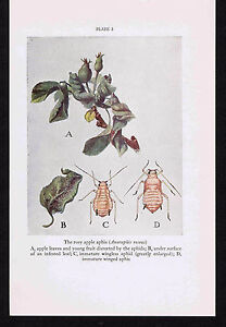 Rosy Apple Aphis Anuraphis roseus 1934 Scientific Print $10.99