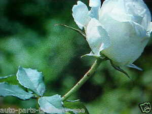 LARGE  WHITE KENNEDY  ROSE FLOWER SEEDS   This is a  U.S.A. TEXAS SHIPPED item