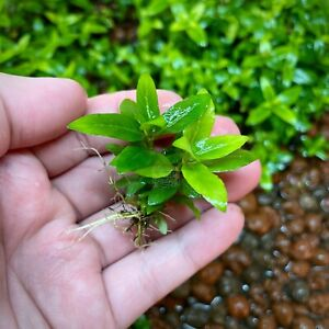Staurogyne Repens Bare Root Clump Live Aquarium Plants Foreground BUY2GET1FREE*